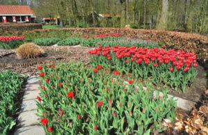 KB-Tulpen